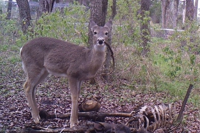 Click image for larger version.  Name:170509-deer-ganwing-human-bone-alt-feature.jpg Views:31 Size:104.3 KB ID:5901073