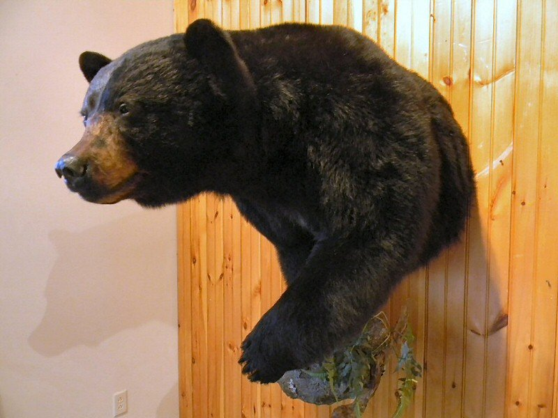 Name Bear Taxidermy Shoulder Mount