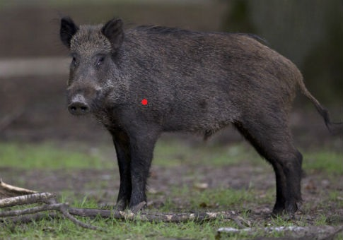 Name:  boar-1.1.jpg Views: 17 Size:  41.8 KB