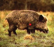 Name:  boar-3.1.jpg Views: 13 Size:  22.1 KB