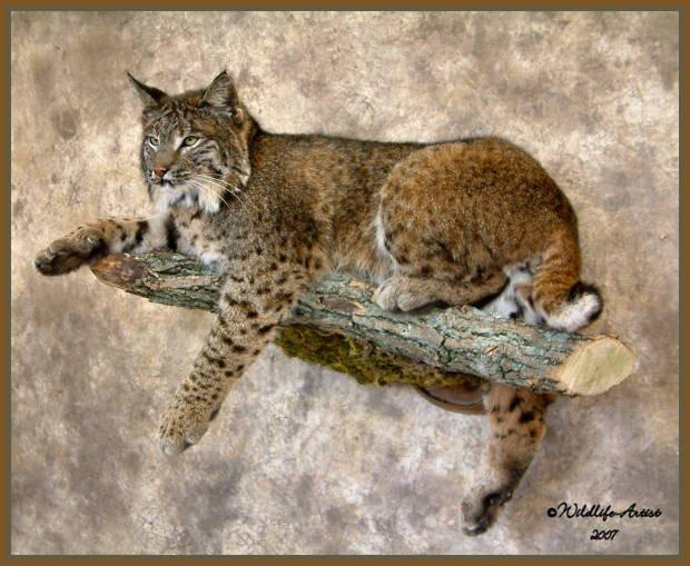 Full Body Bobcat Mounts Page 2
