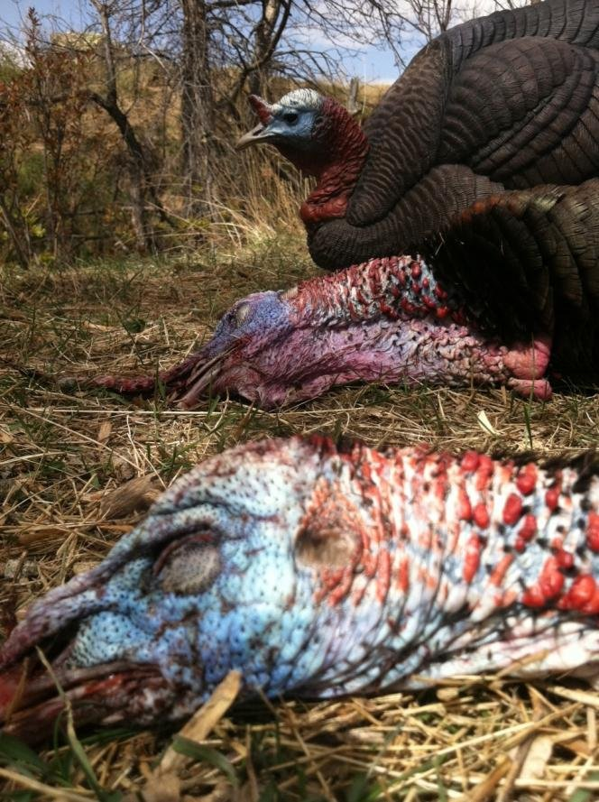 Click image for larger version. </p> <p>Name:	btd and 2 dead turkeys.jpg <br /> Views:	29 <br /> Size:	125.9 KB <br /> ID:	1609705